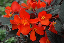 Unstoppable Upright Fire Begonia (Begonia 'Unstoppable Upright Fire') at Snavely's Garden Corner