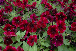 Sweetunia Johnny Flame Petunia (Petunia 'Sweetunia Johnny Flame') at Snavely's Garden Corner