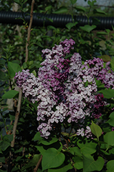 Declaration Lilac (Syringa 'Declaration') at Snavely's Garden Corner