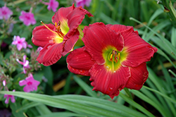 Happy Ever Appster® Red Hot Returns Daylily (Hemerocallis 'Red Hot Returns') at Snavely's Garden Corner