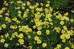 Galaxy Tickseed (Coreopsis 'Galaxy') at Snavely's Garden Corner