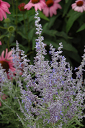 Denim 'n Lace Russian Sage (Perovskia atriplicifolia 'Denim 'n Lace') at Snavely's Garden Corner