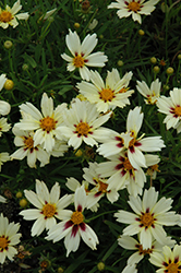 Starlight Tickseed (Coreopsis 'Starlight') at Snavely's Garden Corner