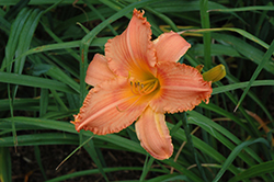 New Tangerine Twist Daylily (Hemerocallis 'New Tangerine Twist') at Snavely's Garden Corner