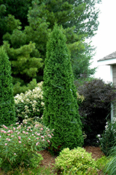 North Pole® Arborvitae (Thuja occidentalis 'Art Boe') at Snavely's Garden Corner