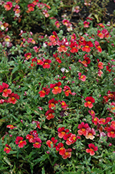 Sunsatia Blood Orange Nemesia (Nemesia 'Sunsatia Blood Orange') at Snavely's Garden Corner