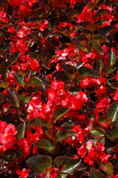Big® Red Bronze Leaf Begonia (Begonia 'Big Red Bronze Leaf') at Snavely's Garden Corner