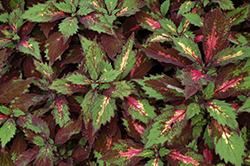 Marquee Special Effects Coleus (Solenostemon scutellarioides 'Special Effects') at Snavely's Garden Corner