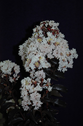 Moonlight Magic™ Crapemyrtle (Lagerstroemia 'PIILAG-IV') at Snavely's Garden Corner