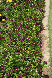 Jams 'N Jellies Blackberry Vinca (Catharanthus roseus 'Jams 'N Jellies Blackberry') at Snavely's Garden Corner