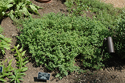 Greek Oregano (Origanum onites) at Snavely's Garden Corner