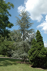Blue Atlas Cedar (Cedrus atlantica 'Glauca') at Snavely's Garden Corner