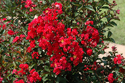 Dynamite Crapemyrtle (Lagerstroemia indica 'Whit II') at Snavely's Garden Corner