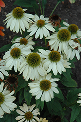 Sombrero® Sandy Yellow Coneflower (Echinacea 'Balsomselo') at Snavely's Garden Corner