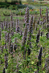 Black Adder Hyssop (Agastache 'Black Adder') at Snavely's Garden Corner