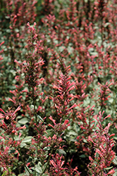 Kudos Coral Hyssop (Agastache 'Kudos Coral') at Snavely's Garden Corner