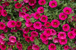 MiniFamous® Neo Purple Calibrachoa (Calibrachoa 'MiniFamous Neo Purple') at Snavely's Garden Corner