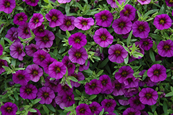 MiniFamous® Neo Royal Blue Calibrachoa (Calibrachoa 'MiniFamous Neo Royal Blue') at Snavely's Garden Corner