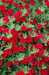 MiniFamous® Double Compact Red Calibrachoa (Calibrachoa 'MiniFamous Double Compact Red') at Snavely's Garden Corner