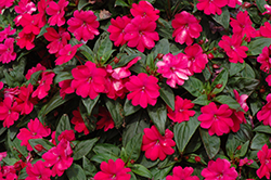 Big Bounce™ Cherry Impatiens (Impatiens 'Balbigbery') at Snavely's Garden Corner