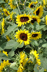 Sunsation Flame Sunflower (Helianthus annuus 'Sunsation Flame') at Snavely's Garden Corner