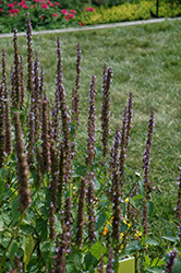 Little Adder Hyssop (Agastache rugosa 'Little Adder') at Snavely's Garden Corner