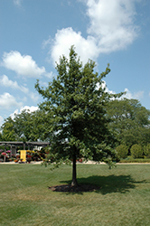 Shingle Oak (Quercus imbricaria) at Snavely's Garden Corner