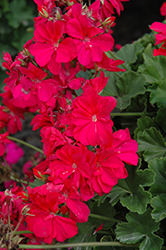 Calliope® Hot Pink Geranium (Pelargonium 'Calliope Hot Pink') at Snavely's Garden Corner