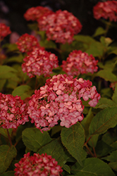 Invincibelle® Ruby Smooth Hydrangea (Hydrangea arborescens 'NCHA3') at Snavely's Garden Corner