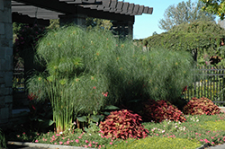 King Tut Egyptian Papyrus (Cyperus papyrus 'King Tut') at Snavely's Garden Corner