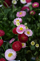 Bellisima Mix English Daisy (Bellis perennis 'Bellissima Mix') at Snavely's Garden Corner