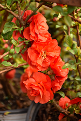 Double Take Orange™ Flowering Quince (Chaenomeles speciosa 'Double Take Orange Storm') at Snavely's Garden Corner