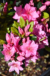 Tradition Azalea (Rhododendron 'Tradition') at Snavely's Garden Corner