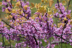 The Rising Sun Redbud (Cercis canadensis 'The Rising Sun') at Snavely's Garden Corner