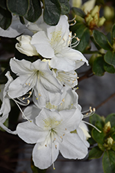 Delaware Valley White Azalea (Rhododendron 'Delaware Valley White') at Snavely's Garden Corner