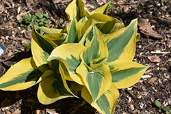Autumn Frost Hosta (Hosta 'Autumn Frost') at Snavely's Garden Corner
