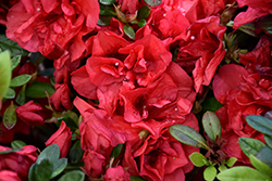 Encore® Autumn Fire™ Azalea (Rhododendron 'Roblez') at Snavely's Garden Corner