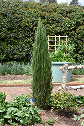Blue Arrow Juniper (Juniperus scopulorum 'Blue Arrow') at Snavely's Garden Corner
