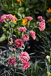 Scent First® Sugar Plum Pinks (Dianthus 'WP IAN04') at Snavely's Garden Corner