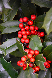 Nellie R. Stevens Holly (Ilex 'Nellie R. Stevens') at Snavely's Garden Corner