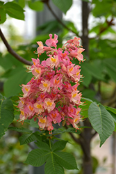 Fort McNair Red Horse Chestnut (Aesculus x carnea 'Fort McNair') at Snavely's Garden Corner
