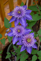 Multi Blue Clematis (Clematis 'Multi Blue') at Snavely's Garden Corner