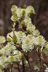 Mt. Airy Fothergilla (Fothergilla major 'Mt. Airy') at Snavely's Garden Corner