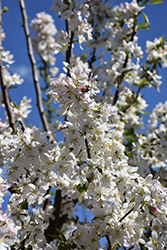 Sugar Tyme Flowering Crab (Malus 'Sugar Tyme') at Snavely's Garden Corner