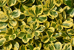 Gold Splash® Wintercreeper (Euonymus fortunei 'Roemertwo') at Snavely's Garden Corner
