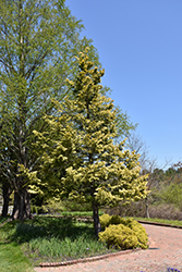 Cripps Gold Falsecypress (Chamaecyparis obtusa 'Crippsii') at Snavely's Garden Corner