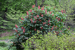 Red Buckeye (Aesculus pavia) at Snavely's Garden Corner