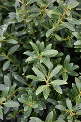 Hoogendorn Japanese Holly (Ilex crenata 'Hoogendorn') at Snavely's Garden Corner