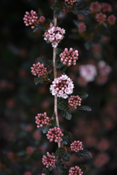 Little Devil™ Ninebark (Physocarpus opulifolius 'Donna May') at Snavely's Garden Corner