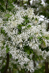 Chinese Fringetree (Chionanthus retusus) at Snavely's Garden Corner